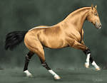 Shankara, Champion Blood Farenzi stallion by BH-Stables