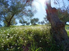 Greek olive landscape spangled with chamomile II by Paul774