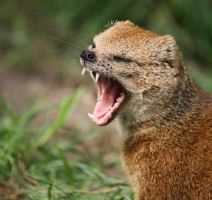 Yellow Mongoose 5 by Sabbie89
