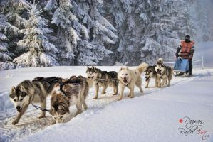 husky dogs in tusnad by 3sq