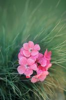 :pink flowers: by KatherineDavis