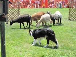 border collie and sheep 2 by Jupiter-Foxclaw