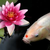 Pink Lily, White Koi Square by nectar666