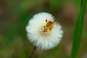 Dandelion by everythingphotos