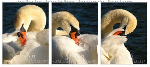 Male Mute Swan.. by devils-horizon