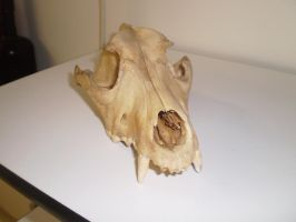 Dog skull II by Twister4evaSTOCK