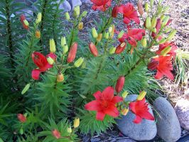 Red Asiatic Lily 5 by racheltorres921