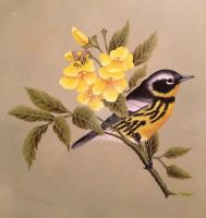 Magnolia Warbler in oil by MeganHess