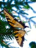 Monarch on Pine by sacredGEOart