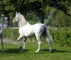 White andalusian stock 4 by da-toss-stock