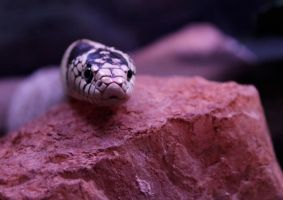 Snake by coralphotography