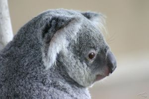 Koala by Atmosphotography