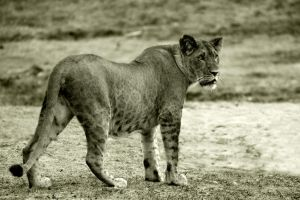 Graceful lioness by NB-PhotoArt