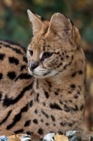 0062 - Serval by Jay-Co