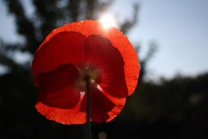 Poppy Sun Peek by KeswickPinhead