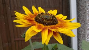 Sunflower by c-r-o-f-t