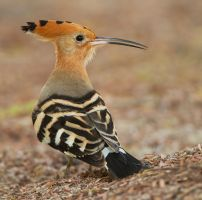 Dressed for dinner - Hoopoe by Jamie-MacArthur
