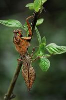 The Leaf Mantis by SAMLIM