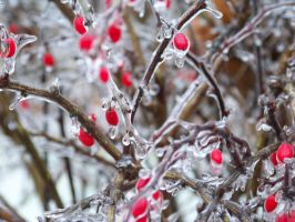 Ice Storm Bush by divineshadow666