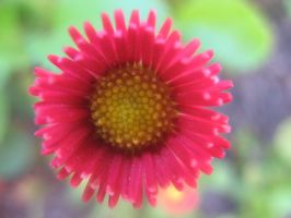 Red Daisy by musicalcat