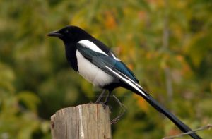 Black Billed Magpie Autumn by houstonryan
