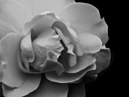Red Rose BW by Richirich