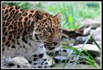 Amur Leopard 3020 by mgroberts