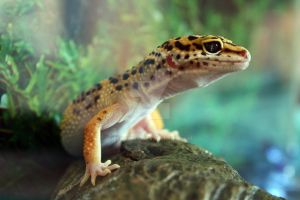 Leopard gecko - high yellow by Zekanna