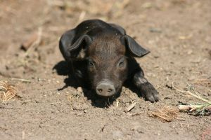 Pigs - Piglets 1 by ComsumedDarkness