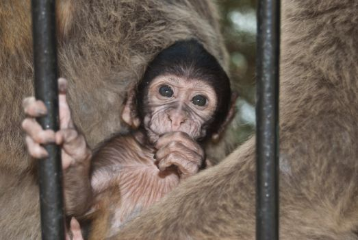Monky from Gibraltar by BelladonnaGenocide