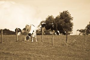Moo Cows at Robin Hoods Bay by allenjennison