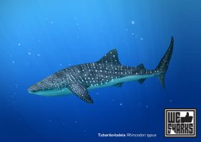 Whale Shark by omnicogni
