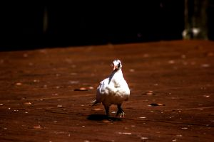 White pigeon. by Mackingster