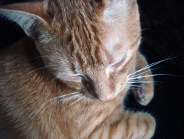 simba purring by pungen