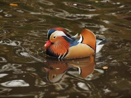 Colorful Duck 01 by tmfNeurodancer
