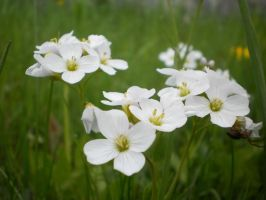 white flowers by MichaelQue