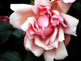 Tennessee Rose by Heylormammy