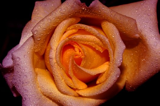 A rose is just a rose by relhom