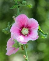 Hollyhock by creativemikey