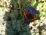Red Admiral on a Buddlia by WhiteWolfStock