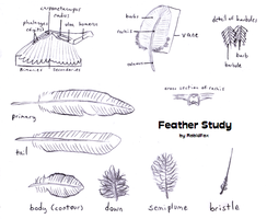 Feather Study by RabidFox