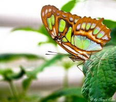 Butterfly by saliyalein