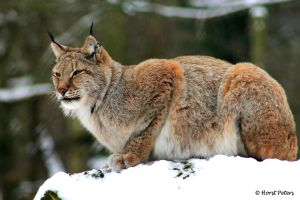 Lynx / Luchs 8 by bluesgrass