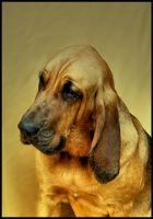 Bloodhound by irishtequilla