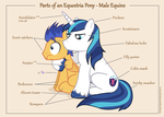 Parts of an Equestria Pony - Male Equine by dm29