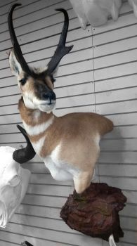 Pronghorn 3 by pyroxene88