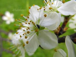Apple blossom and a beetle by NelEilis