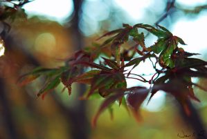 Japanese Maple Leaves by TheHeartwoodStudio