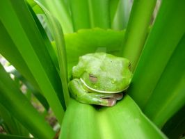 green tree frog by glimmertwin3