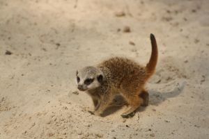Meerkat cub on the trip to discover the world by DarkTara